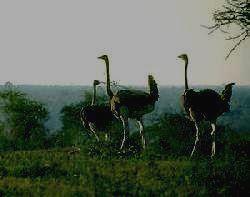 TARANGIRE - страусы