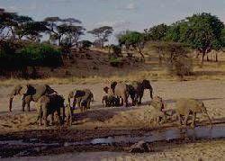 TARANGIRE - слоны у источника