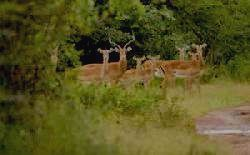 Самый массовый вид парка - импала
