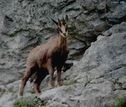 Национальный парк АЛАНИЯ - серна