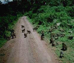 Бабуины - одни из правителей парка.