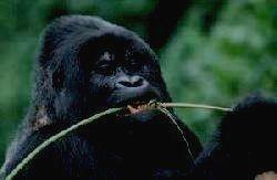 Горная горилла. В мире их всего 600 особей.