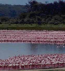 Стаи фламинго в парке.