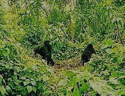 Гориллы в джунглях