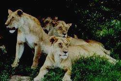 Величественные львы.