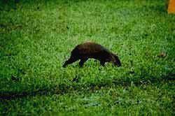 Шустрый агути