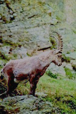 Каменный козел-гордость парка