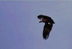 КАТУНСКИЙ ЗАПОВЕДНИК - чёрный гриф