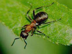 МАРИЙ ЧОДРА - рыжий лесной муравей