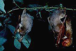 МАРИЙ ЧОДРА - летучие мыши