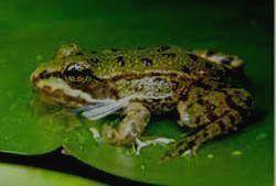 НИЖНЯЯ КАМА - прудовая лягушка