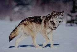 ПААНАЯРВИ - волк