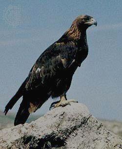 Беркут-разновидность орла