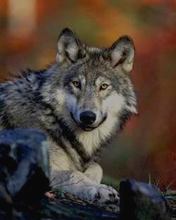 ПРИПЫШМИНСКИЕ БОРЫ - волк