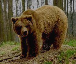 ПРИПЫШМИНСКИЕ БОРЫ - медведь