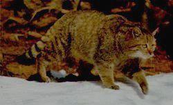ПРИЭЛЬБРУСЬЕ - лесная кошка