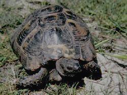 СОЧИНСКИЙ - средиземноморская черепаха