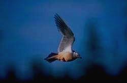 БОЛЬШОЙ АРКТИЧЕСКИЙ ЗАПОВЕДНИК - розовая чайка