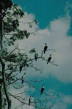 Больших бакланов в Ливонде не сосчитать