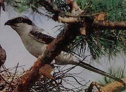 СЕБЕЖСКИЙ - серый сорокопут