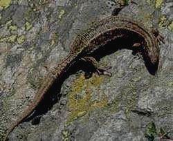 НЕЧКИНСКИЙ - Живородящая ящерица