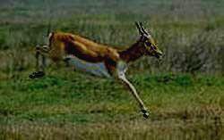 Бегущая антилопа