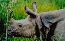 Вымирающий однорогий носорог