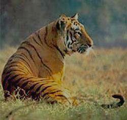 Бенгальский тигр - король джунглей