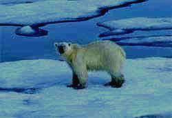 БОЛЬШОЙ АРКТИЧЕСКИЙ ЗАПОВЕДНИК - белый медведь