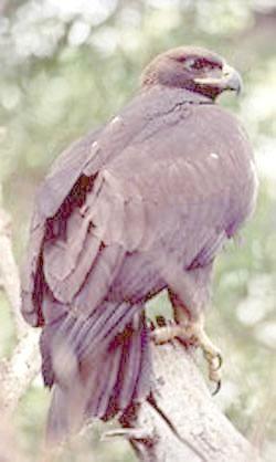 Золотой орел в дозоре