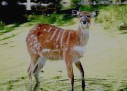Антилопа ситатунга