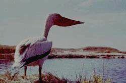 Гордость парка - белый пеликан