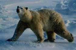 ГЫДАНСКИЙ ЗАПОВЕДНИК - белый медведь