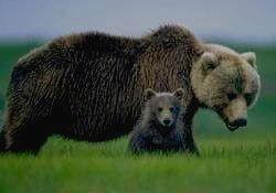 ЗЕЙСКИЙ ЗАПОВЕДНИК - бурый медведь