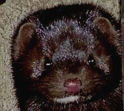 Этот замечательный зверек - норка-новый житель Килларни