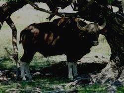 Гаур - самое большое копытное животное
