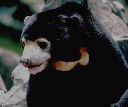 Малазийский солнечный медведь