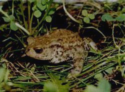 ПОЛИСТОВСКИЙ ЗАПОВЕДНИК - серая жаба