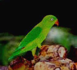 Усатый ожереловый попугай