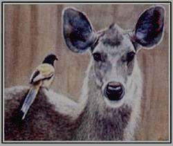 Олень самар - самый большой из индийских оленей