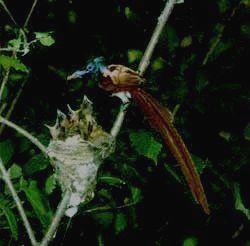 БОЛЬШЕХЕХЦИРСКИЙ - райская мухоловка