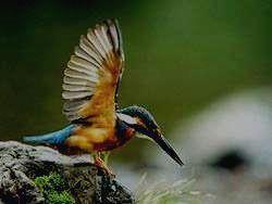 Красочный зимородок
