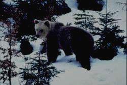 ВЕРХНЕ-ТАЗОВСКИЙ - бурый медведь