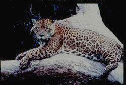 Величественный ягуар