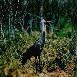 КОМСОМОЛЬСКИЙ - черный журавль