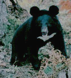 КОМСОМОЛЬСКИЙ - белогрудый медведь